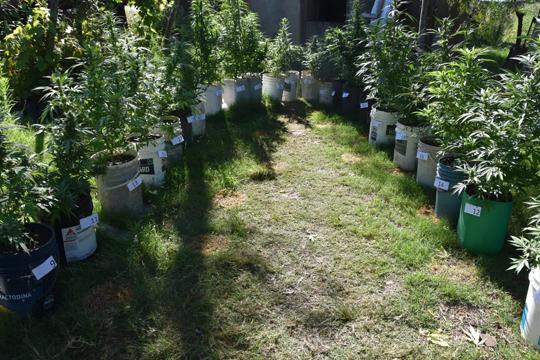 plantas-cannabis